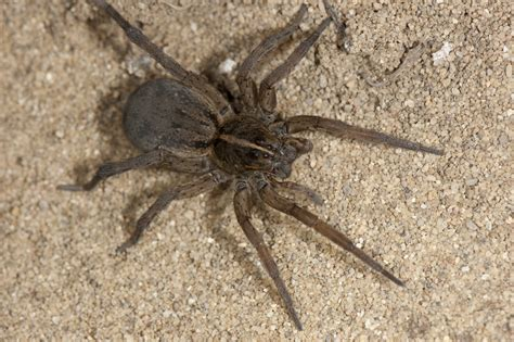 wolf spider wolf spiders family lycosidae spidersrule