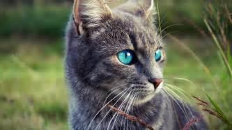 blue gray cat gray cat blue grass wallpaper other wallpaper