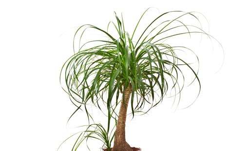 Australischer Flaschenbaum Zimmerpflanze by Plantas Dentro De Casa Seis Esp 233 Cies Resistentes