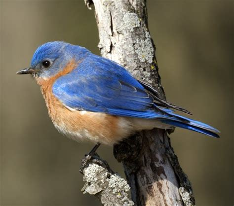 love the eastern nc bluebirds who live and play in our