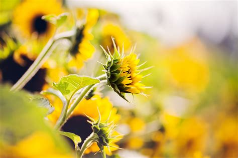 sunflower hd wallpapers free download