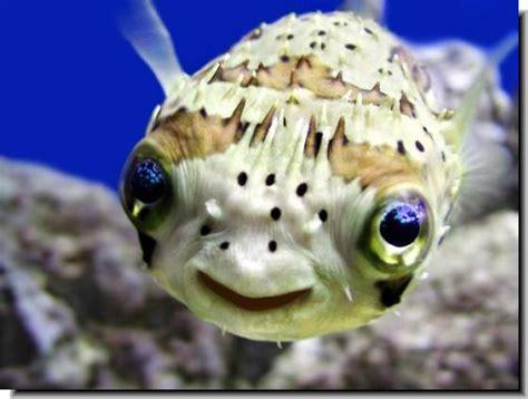 Porcupine-fish-puffer.jpg