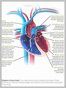Heart Diagram  U2013 Graph Diagram