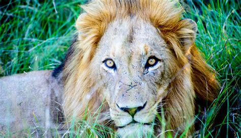 lions  left  west africa futurity