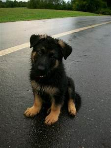 Black German Shepherd | Puppies | cute animals | Pinterest