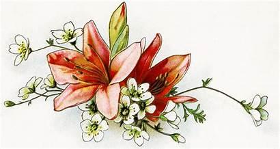 Clipart Lilies Floral Lily Clip Flower Lillies