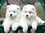 White Samoyed Puppies for Sale