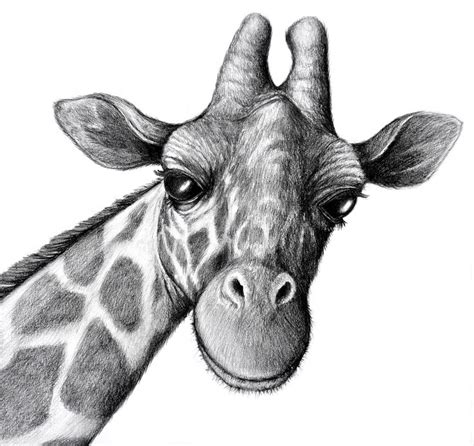 Giraffe Stand Tall Tattoo by Best 25 Sketches Of Animals Ideas On Pinterest Animal
