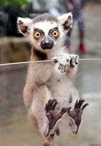 Ring Tailed Lem... Cute Lemur Quotes