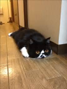 Exotic Shorthair Cat Meme