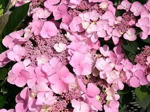 Hydrangea Macrophylla Winterhart : tellerhortensie 39 mariesii perfecta 39 hydrangea ~ Michelbontemps.com Haus und Dekorationen