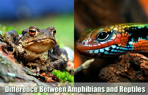 similarities difference  amphibians  reptiles