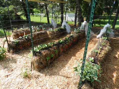 straw bale garden gardening in straw garden housecalls
