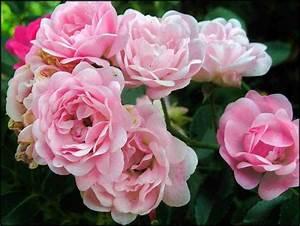 Rosen Im Topf überwintern : rose rosa 39 the fairy 39 pflanzen enzyklop die ~ Orissabook.com Haus und Dekorationen