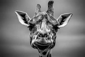 Free Images : animal, giraffe, head and black, white ...