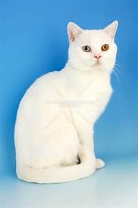 Animal Photography | white british shorthair cat, odd eyed ...