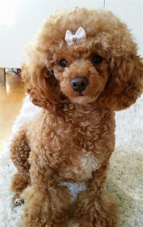 poodle haircuts images  pinterest poodles