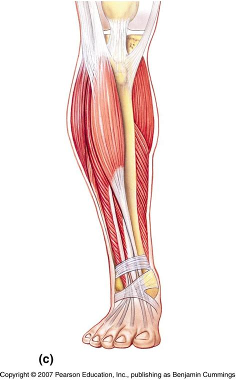 The leg muscles diagram, will point out if the issue is with any tissue or with the bone. muscles of the lower leg - Google Search | Athletic ...