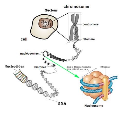 Diagram Of Chromatin by Nucleosome Structure Of Chromatin Notes