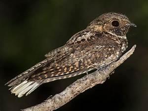 Chart Lab Puerto Nightjar Ebird