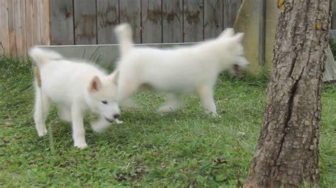 White Alaskan Malamute Puppies for sale - YouTube