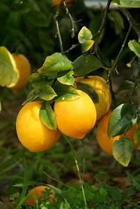 Zitronenbaum Gelbe Blätter : zitronenbaum krankheiten vorbeugen erkennen behandeln ~ Lizthompson.info Haus und Dekorationen