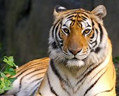 Image result for tigers