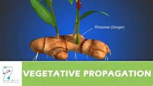 Examples Vegetative Propagation Roots