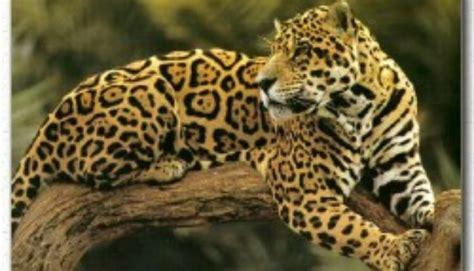 jaguar cat fantastic jaguar facts big cat rescue