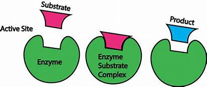 Enzymes Biology Ap Facts