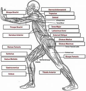 Biologycorner Com  Anatomy  Muscles  Muscles Labeling  Muscles Overall Label Key Jpg