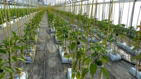 paprika capsicum annuum im pflanzenlexikon gt gt gartennatur