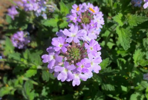 Plant Of The Month  Glandularia (formerly Verbena