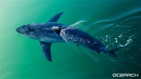 costa  lb great white shark