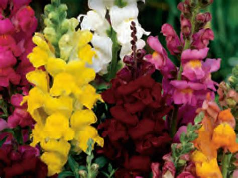 snapdragon plant antirrhinum aka snapdragon tall varieties living colour plants