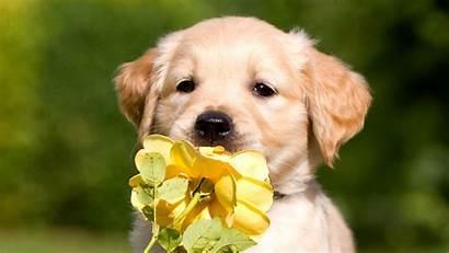 Puppy Retriever Labrador Wallpapers Petals Animals Dog