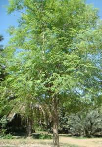 Moringa Tree Plants