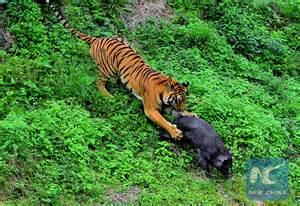 South China Tiger Hunting