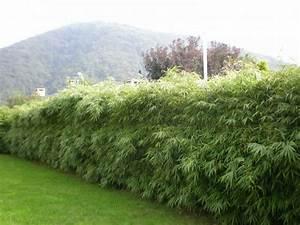 Hortensie Umpflanzen Im Topf : fargesia rufa bambus ohne ausl ufer fargesia bambus bambuswald bambus und pflanzen f r ~ Orissabook.com Haus und Dekorationen