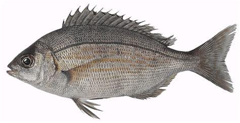 cuisiner dorade grise dorades pour une pêche durable
