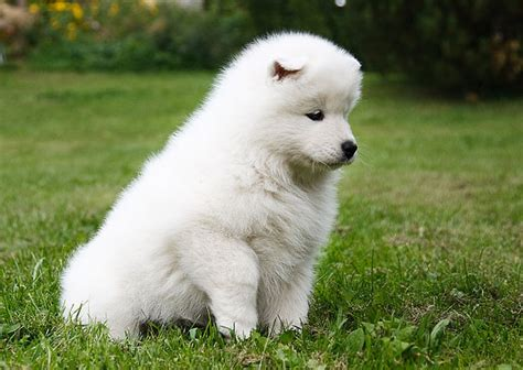 samoyed natural history