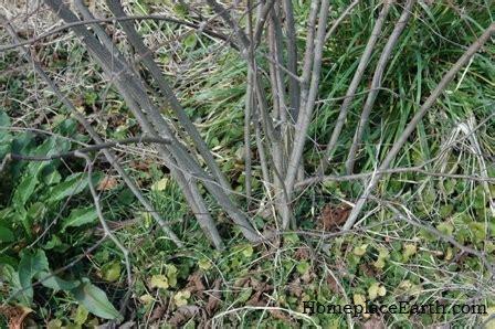 pruning hazelnut trees hazelnuts filberts in my garden homeplace earth