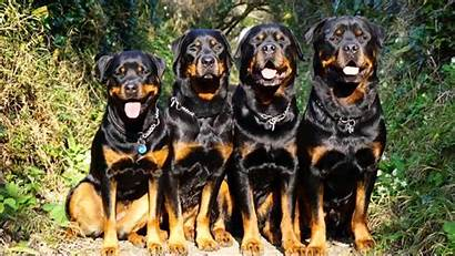 Rottweiler Wallpapers Dogs Rotweiler Dog Background Cool