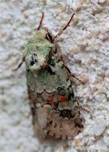 California Moth Identification