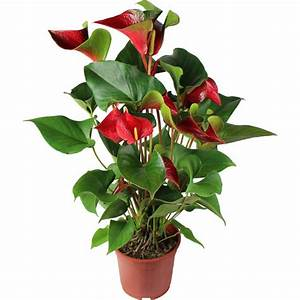 Plante D Intérieur : la fontaine fleurie plante anthurium en pot ~ Dode.kayakingforconservation.com Idées de Décoration