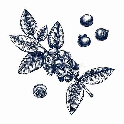 Blueberries Berries Drawing Organic Juicy Seamless Watercolor
