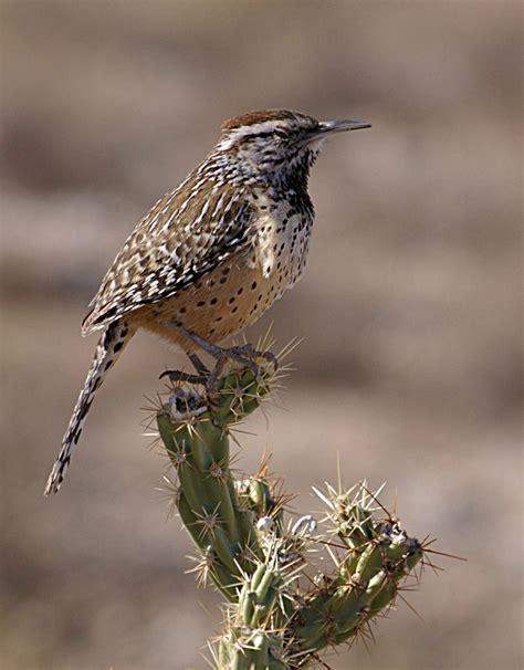 list of birds of arizona wikipedia