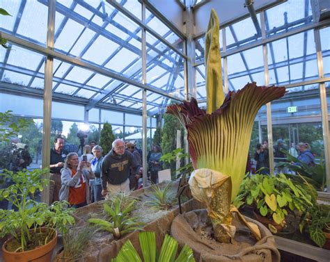 photos stinky corpse flower blooms