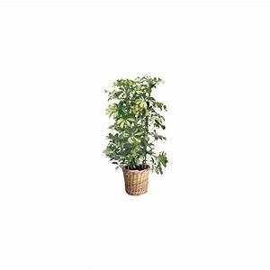 Cache Pot Tressé : schefflera 39 mme de smet 39 cache pot tress plantes et jardins ~ Teatrodelosmanantiales.com Idées de Décoration