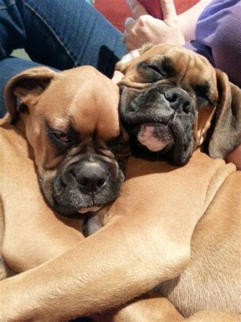 boxer boxers dogs sleeping puppies adorable chiens dog cuddle puppy positions cuddles reasons actually cuddling worst chien cute week buzzsharer